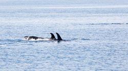 Final Federal Killer Whale Action Plan Still Short On