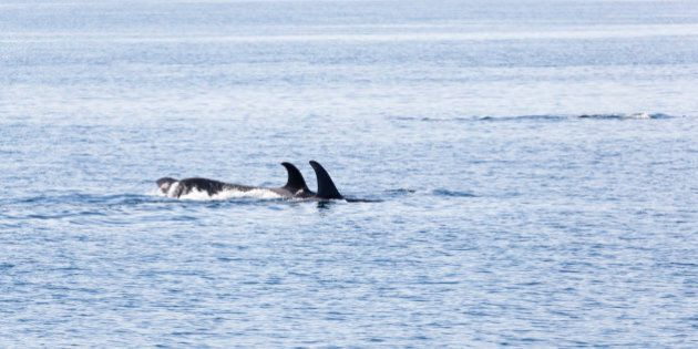 Orca's traveling in Johnstone strait, Vancouver Island, British Columbia,