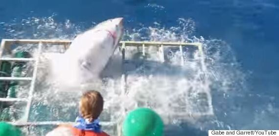 Great White Shark Smashes Cage With Diver