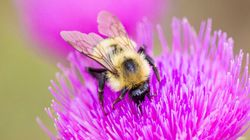 Bumblebee Added To Endangered Species List After Trump