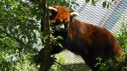Endangered Red Panda Dies Suddenly At Greater Vancouver