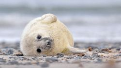 Sealers Want To Start Annual Hunt During Pup Season. Enough Is