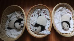 All You Need Today Is Newborn Pandas In