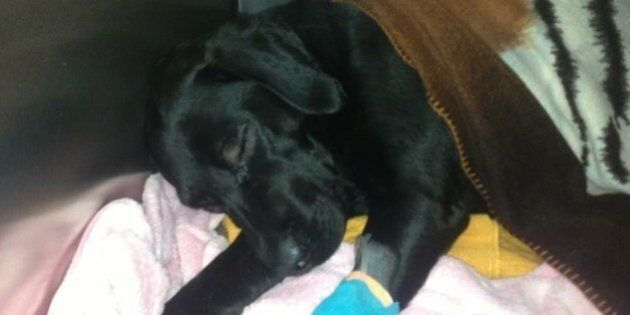 Lindsey Hirtreiter Charged With Horrific Assault Of Labrador Retriever In Surrey,