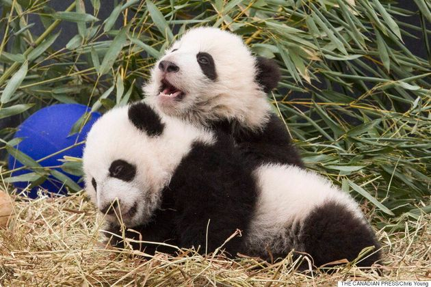 Toronto's Giant Panda Cubs Turn