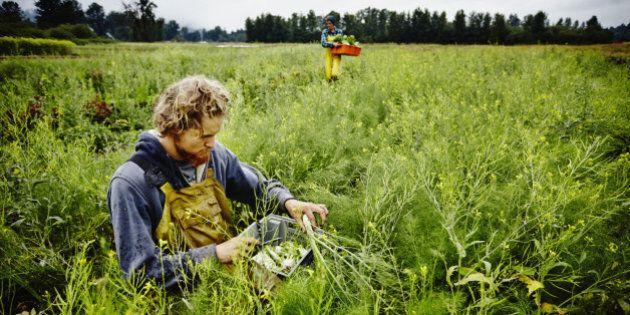 Farmer kneeling in field harvesting organic fennel