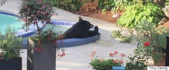 North Vancouver Bear Cools Off In Backyard