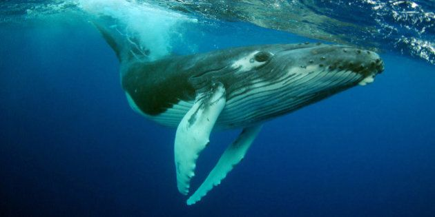 Humpback Whale (Megaptera novaeangliae) calf