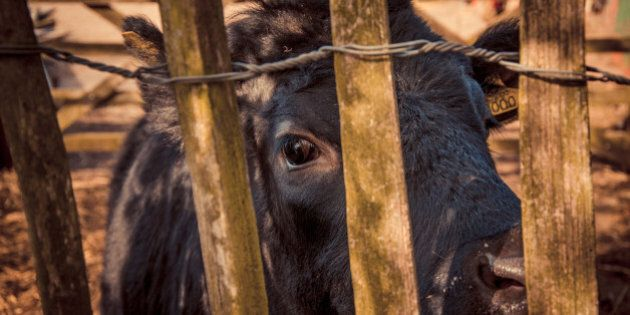 A black calf looking at the camera from behind a country gate, England, UK.