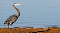 Syncrude Ordered To Clean Up After Herons Found Dead At Oilsands