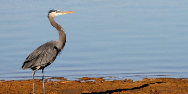 Great Blue Heron at Sand Bass Point on Grapevine Lake on November 19,