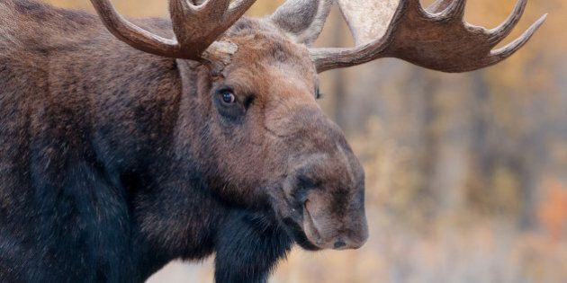 Two Dead After Car Collides With Moose On Quebec Wildlife