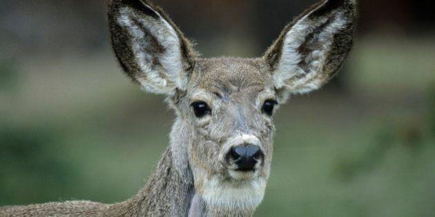 Mule deer, young
