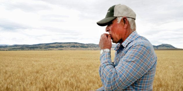 This Friday, July 17, 2015 photo shows Rick Diehl chewing kernels from his winter wheat fields in East...