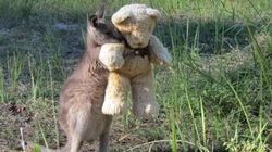 Orphaned Kangaroo Hugs Teddy Bear And We Can't Look