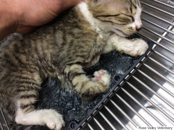 West Kelowna Kitten Caught In Rat Trap Found 'In The Nick Of
