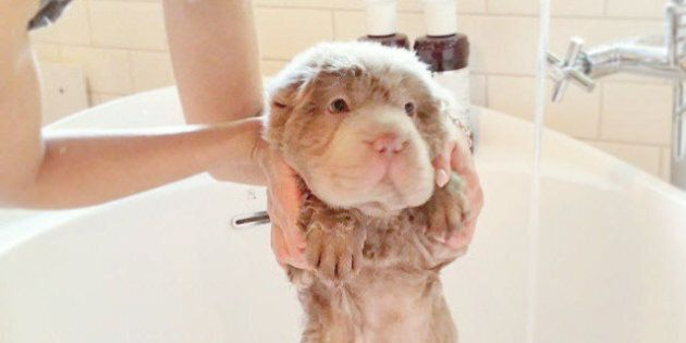 Tonkey The Shar-Pei From Edmonton Is The Cutest Thing On The