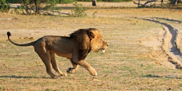 Cecil the Lion's Killing Should Shine a Spotlight on B.C.'s Barbaric Trophy