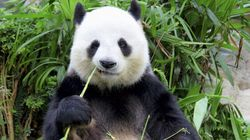 Another Panda, Another Fake