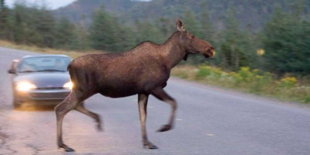 St. John's Moose Problem Has Police, Drivers On The