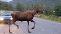 Yes B'y, Moose Are Taking Over St.
