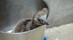 Adorable Baby Penguin Is Great News For Calgary