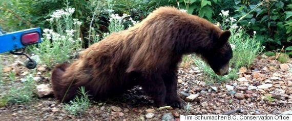 Bear Family Gives Ironman Whistler Triathletes Hell Of A