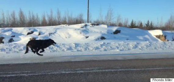Northwest Territories Black Wolves Stun Driver With Daylight