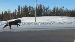 N.W.T. Driver Stunned When Massive Black Wolves Appear For Daylight