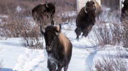 100 Years Later, Bison Roam Banff Once