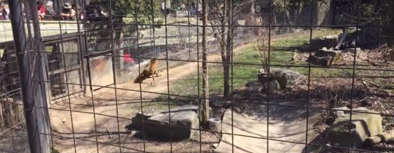 Woman Hops Tiger Fence At Toronto Zoo To Get Her Hat