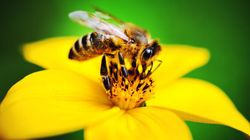 North American Bees Added To Endangered Species List For First