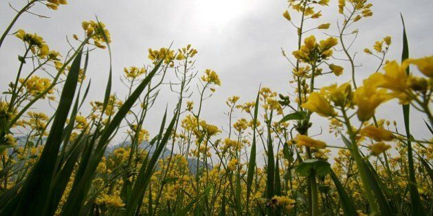 KASHMIR, INDIA - 2016/03/23: Mustard flowers are in full bloom on the outskirts of Srinagar the summer...