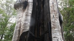 Iconic Vancouver Tree Set On Fire Twice In Same