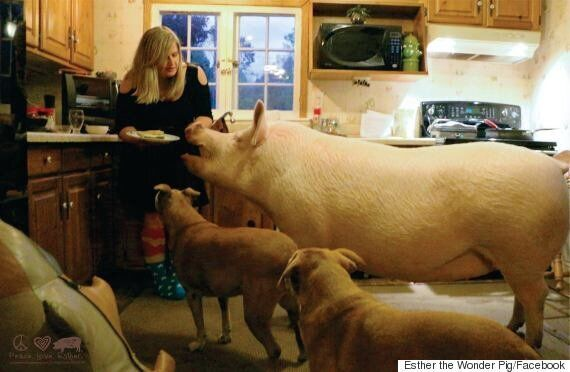 Esther The Wonder Pig Is Now The Size Of A Polar