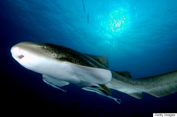 Leonie The Zebra Shark Produces Babies Without A Male