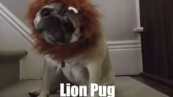 Hinterland Who's Who 'Lion Pug' Parody Is Absolutely