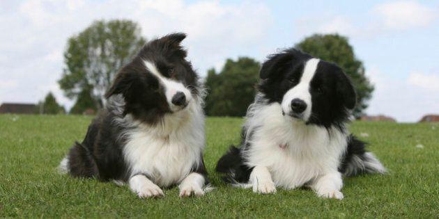 Border collie (Canis lupus familiaris) pair,