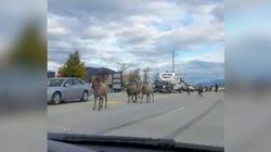 A Bunch Of Bighorn Sheep Caused A Traffic Jam In