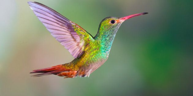 Rufous-tailed