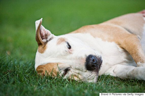 Montreal Bans Pit Bulls After Heated