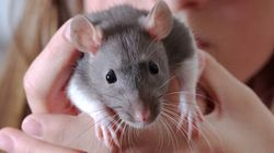 Nearly 600 Rats Removed From 1-Bedroom Ontario