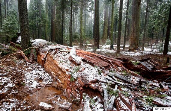 California's Drive-Thru Sequoia Tree Felled By