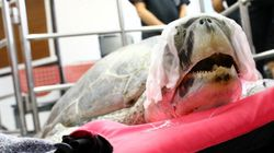 Sea Turtle Undergoes Surgery After Eating Almost 1,000