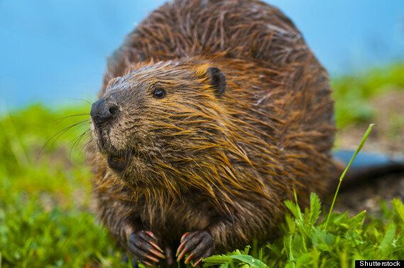Canadian Beavers Are Destroying Patagonian Forests In Chile And