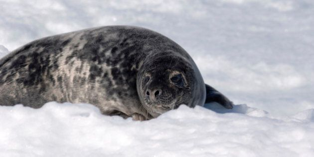 Grey Seal (Halichoerus grypus), is also known as Atlantic Grey Seal and Horsehead Seal, and is a member...
