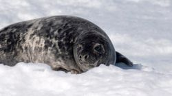 Quebec Rightfully Rejects Proposed Seal Slaughter Disguised As