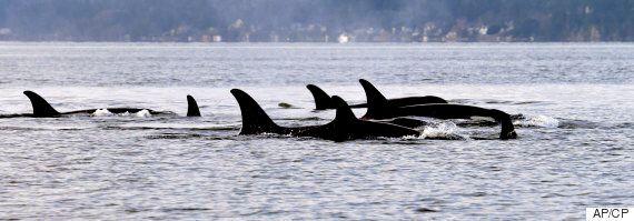 Granny, The Oldest Killer Whale In B.C. Pod, Presumed