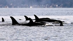 Oldest Orca In B.C. Pod Presumed