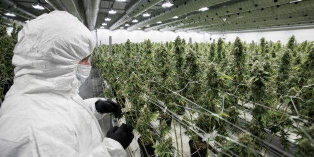 An employee inspect medicinal marijuana plants inside the flowering room at Tweed INC., in Smith Falls, Ontario, on Monday December 5, 2016. / AFP / Lars Hagberg        (Photo credit should read LARS HAGBERG/AFP/Getty Images)